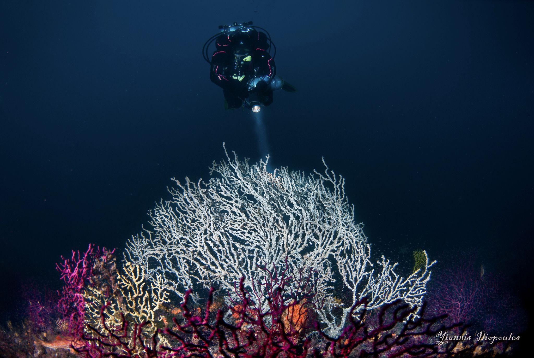 https://flic.kr/p/zwzGzD | Gorgonians | Gorgonians Eunicella verrucosa (white gorgonian) , Eunicella cavolini (yellow gorgonian) and  Paramuricea clavata (purple gorgonian) . Location Greece - Depth : 62 m Underwater Photography by Yiannis Iliopoulos