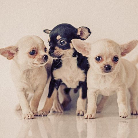 Chihuahua Dog Breed Information Chihuahua Puppies Cute