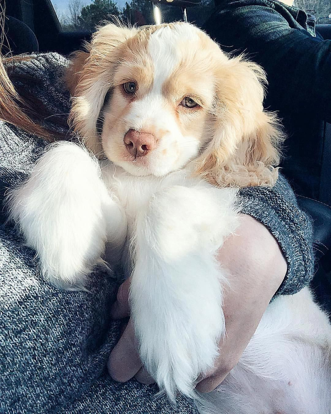 Acquire Terrific Suggestions On Cocker Spaniel Puppies They Are