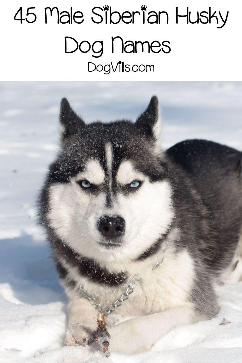 90 Spectacular Siberian Husky Dog Names Dog Names Siberian