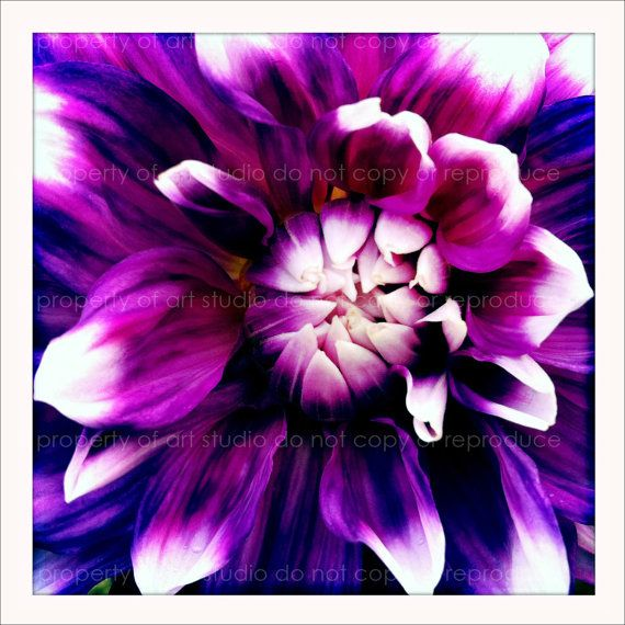 Purple White Dahlia  5x5 Retro Square Metallic Art by artstudio54, $20.00