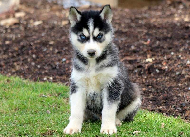 Siberian Husky Puppy For Sale In Mount Joy Pa Adn 67444 On Puppyfinder Com Gender Male Age 7 Weeks Old Husky Puppy Husky Husky Puppies For Sale