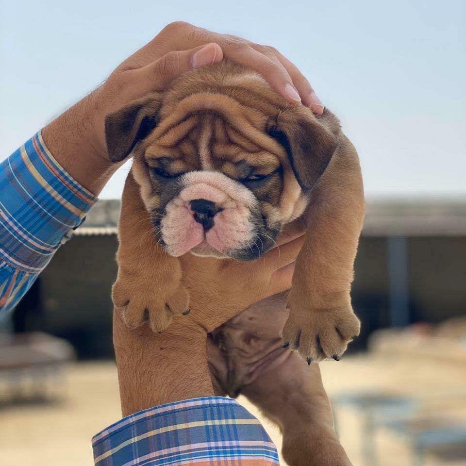 Pin On British Bulldog Puppies