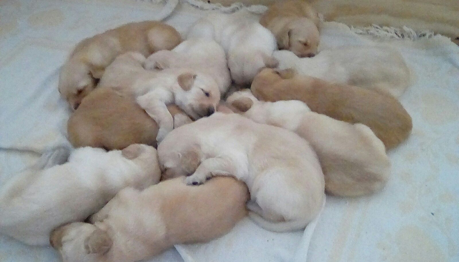 Garcia S Golden Dozen Labrador Labrador Retriever Dogs