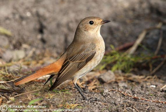 Fiches espèces - www.oiseauxdesjardins.fr