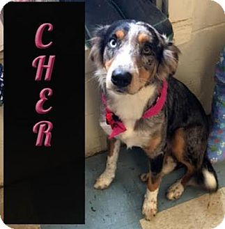 Denver Co Australian Shepherd Mix Meet Cher A Dog For