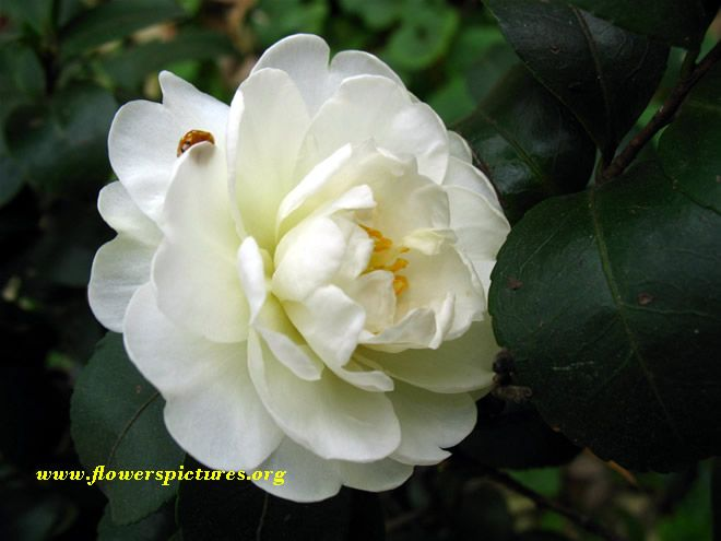 Picture of white camellia flowers neature pinterest camellia picture of white camellia flowers mightylinksfo