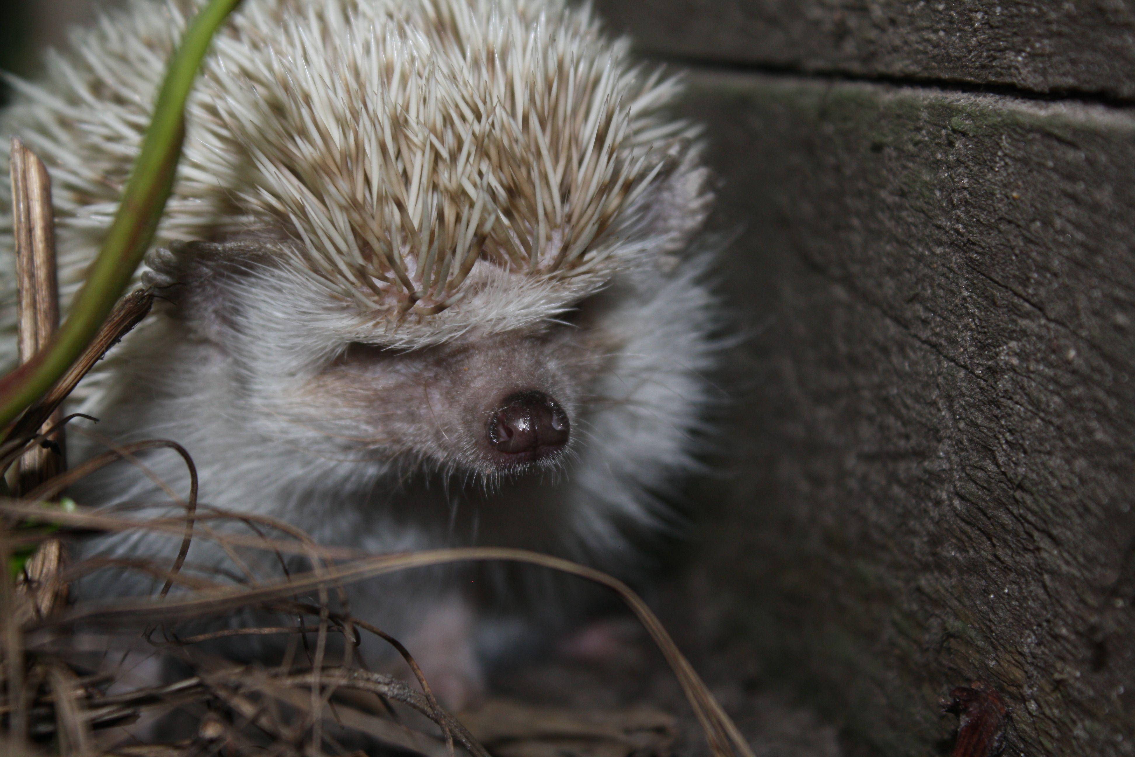 My hedgehog, Neville
