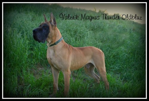 Akc Great Dane Puppies Superior Fawns Brindles Euro Pups