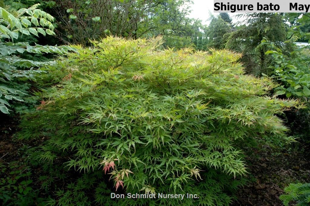Acer Palmatum Shigure Bato Whole Nursery Supplies Plant Growers In Oregon Guide