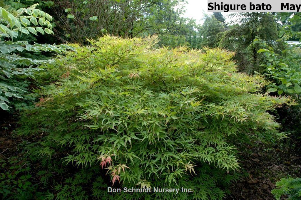 Acer Palmatum Shigure Bato Whole Nursery Supplies Plant Growers In Oregon