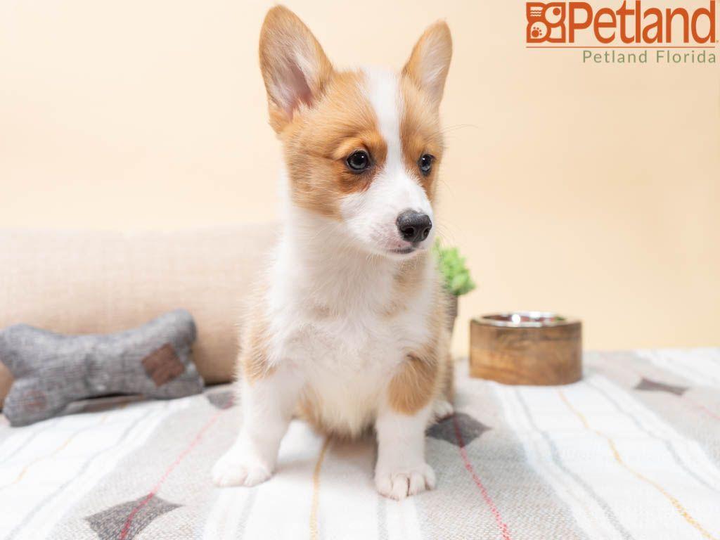 Puppies For Sale Corgi Puppies For Sale Puppies Pembroke Welsh