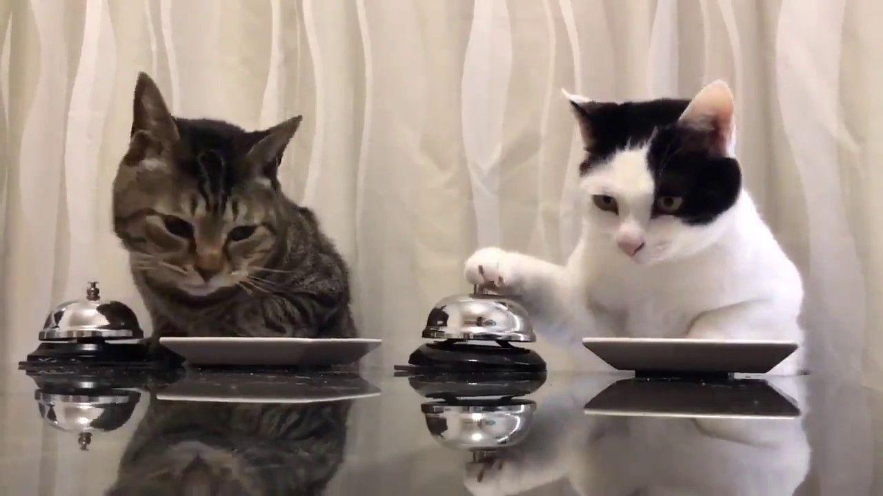 ^^ Waiter Please!! Kisrita (brown tabby ♂) and Velvet (black-and-white ♂) ring the dinner bell. https://twitter.com/b_ru_ru/status/847368727016259584