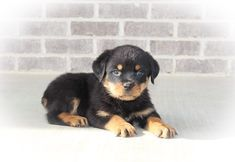 Celly Male Akc Rottweiler Puppy In Woodburn In Rottweiler