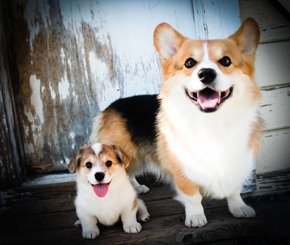 Corgi And Mini Corgi Corgi Corgi Dog Cute Animals