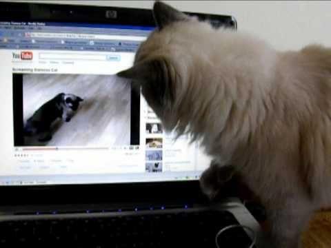 Cat's reaction on noisy siamese YOUTUBE cat