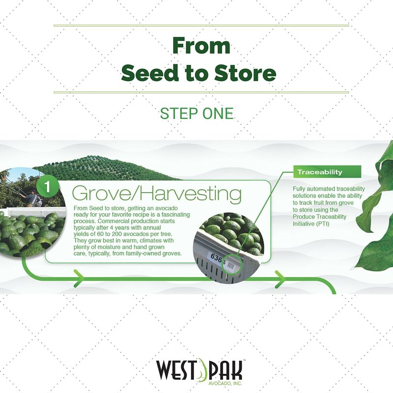 """Introducing West Paks' """"Seed to Store"""" Process. Step 1 involves careful harvesting by family-owned #avocado growers throughout the world."""