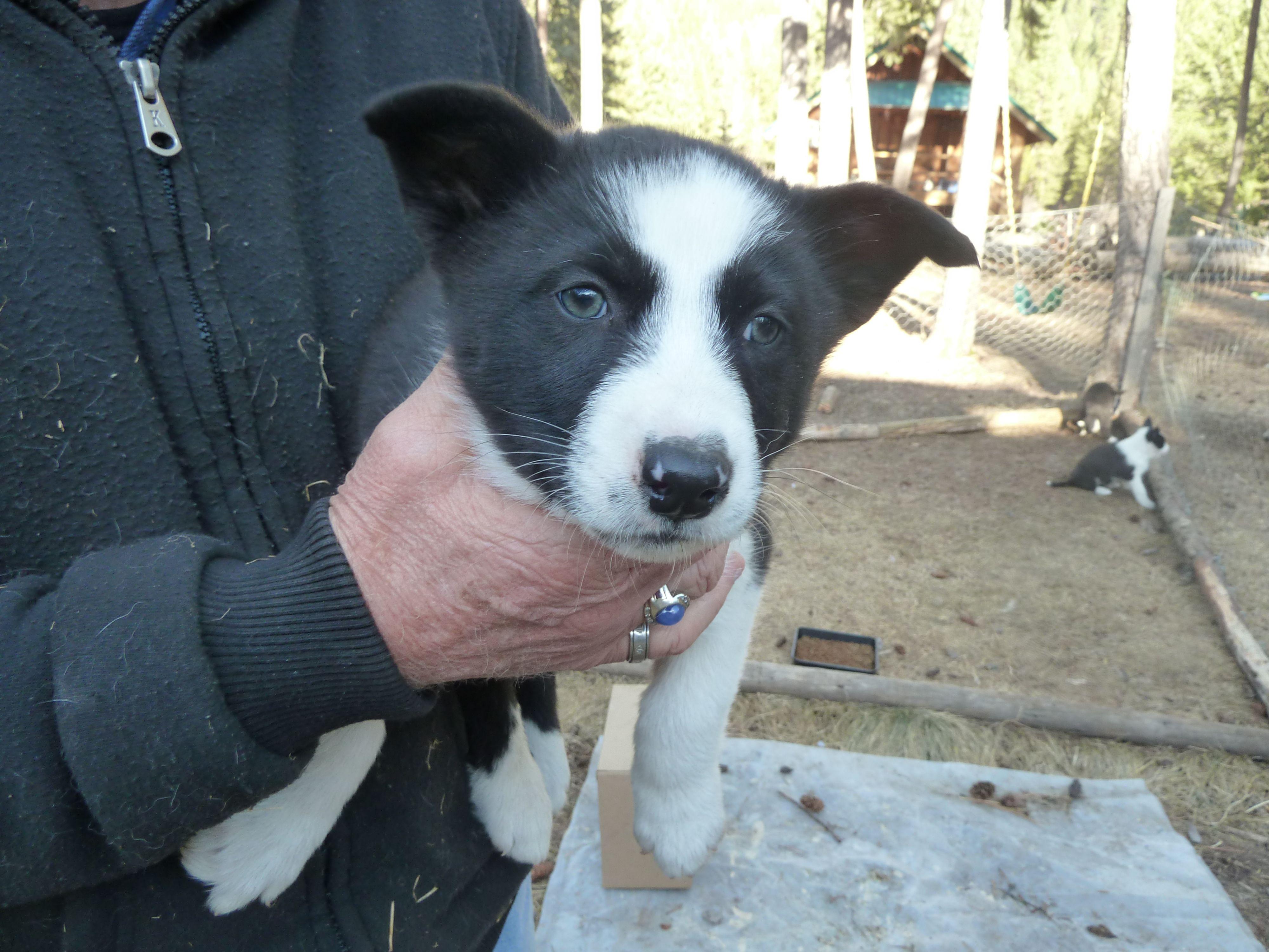 Strider 6 week boy Karelian bear dog, Bear dog, Dogs