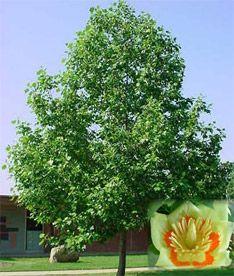 Indiana State Tree Tulip Bing Images Hoosier