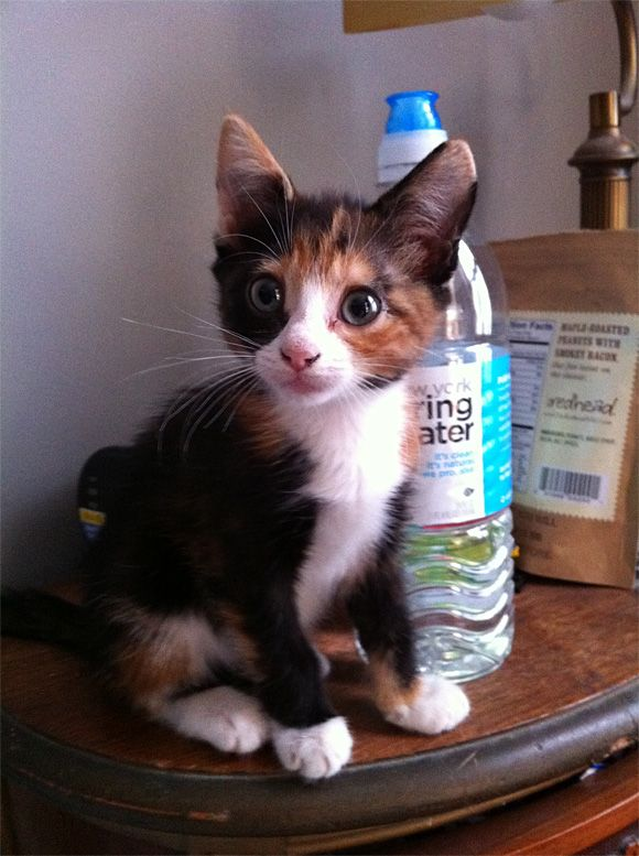 Adorable calico kitten