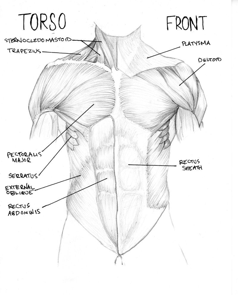 muscle diagram torso | anatomy | Pinterest | Anatomy and deviantART