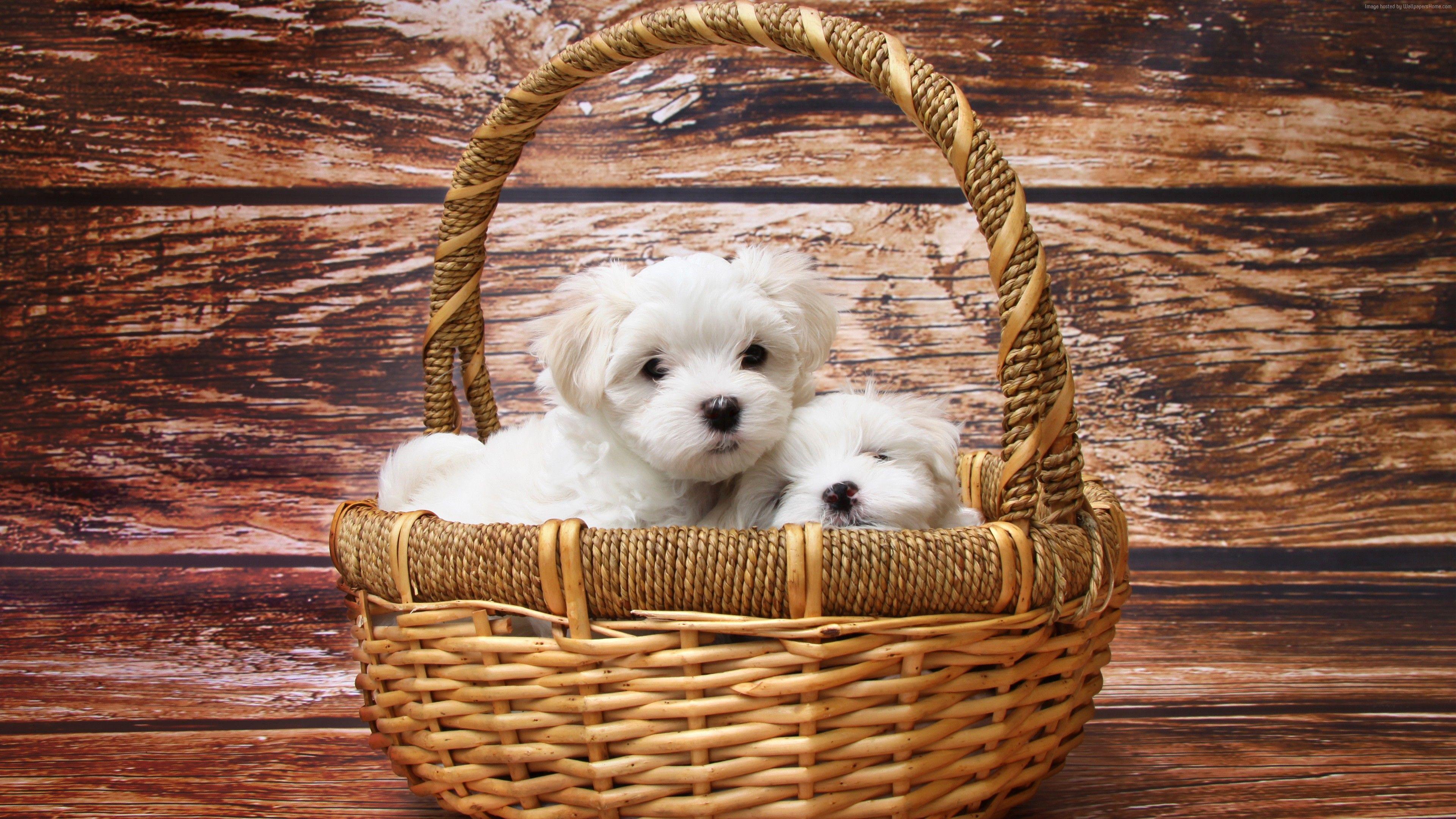 cool Cute white puppies pet 4k wallpaper Girls UHD