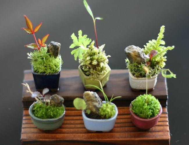 super mini bonsai gardening pinterest. Black Bedroom Furniture Sets. Home Design Ideas
