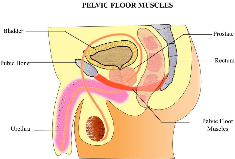 Pelvic floor muscles gross anatomy - www.anatomynote.com | Anatomy ...