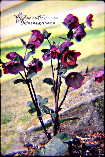 #lomo #lomography diana lens #dreamy  hellbore flowers by Amanda Waddle Photography, via Flickr