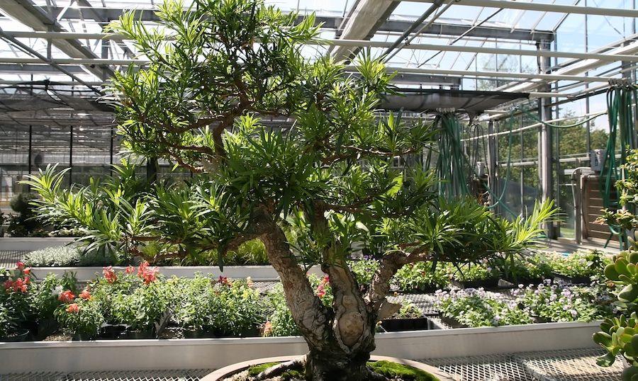 Bonsai Podocarpus Arrosage Engrais Et Exterieur