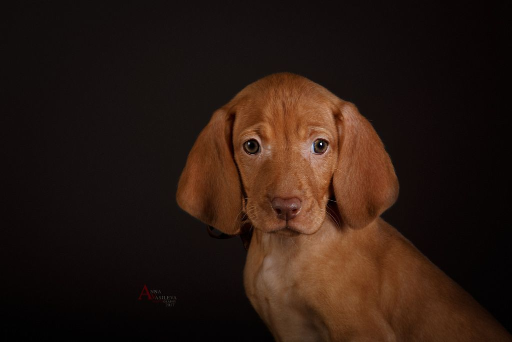 Cute Hungarian Short Haired Vizsla Girl Vizsla Puppies For Sale Vizsla Puppies For Sale