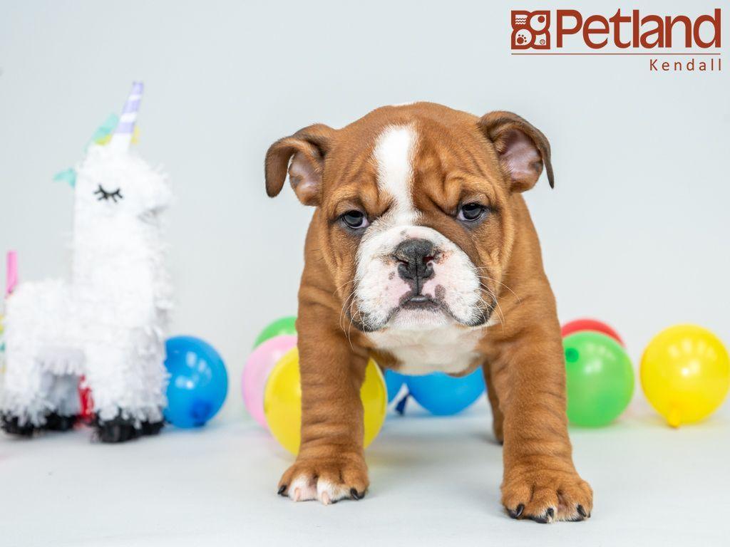 Petland Florida Has English Bulldog Puppies For Sale Interested