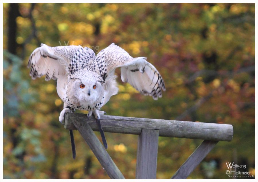Sibirian Eagle Owl by Wolfgang Holtmeier W0LLE.deviantart.com on @DeviantArt