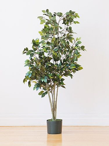 This Low Height Leafy Plant Is Perfect For Filling Up An Empty Corner In Your Family Room Zz Plants Need To Medium Light And Require Little Attention