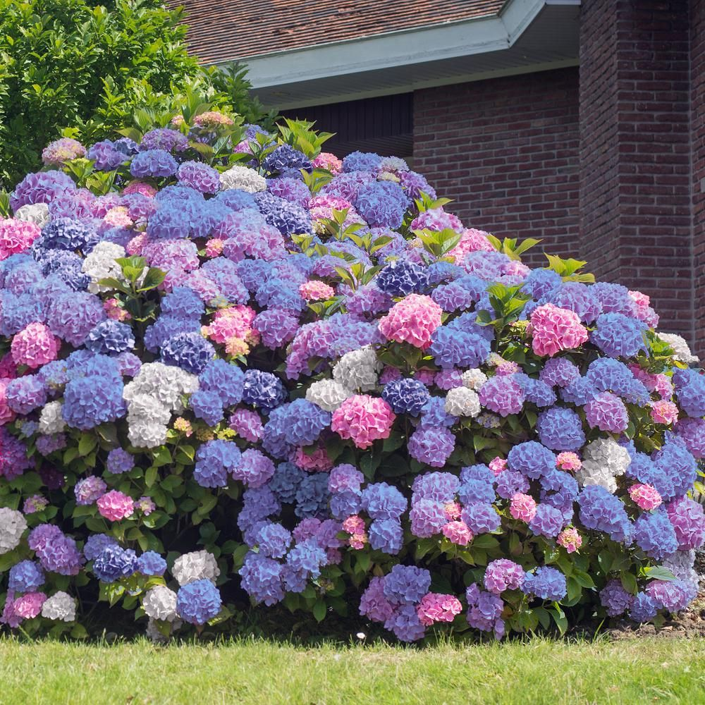 National Plant Network 2 5 Qt 3 In 1 Hydrangea Shrub With White Blue Pink Flowers Hd4028 The Home Depot In 2020 Hydrangea Landscaping Hydrangea Garden Hydrangea Varieties