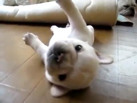 Help Me Human French Bulldog Puppy Stuck On Its Back Funny