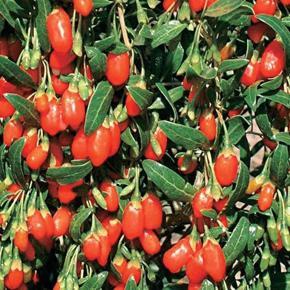 Gurney S Goji Berry Lycium Live Bareroot Plant White Flowering
