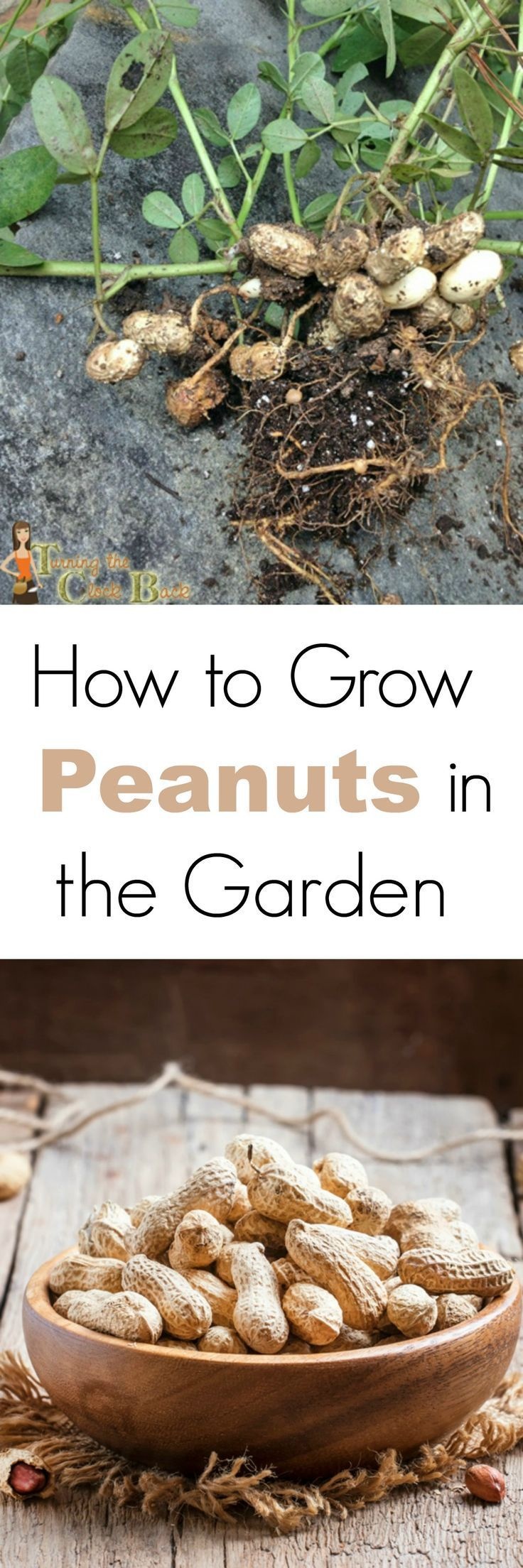 Growing peanuts is a tasty and educational garden project