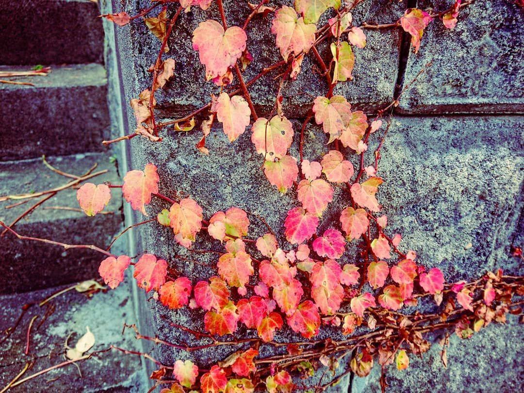 ツタをじっくり撮ってみたい あちこちに生えてる面白い蔦を見ると思う #紅葉 #秋田県  #11月のあきたびじょん2019 #akita_pc #instaflower #ig_worldflowers #ig_eurasia #ig_flowers  #はなまっぷ  #xperiaphotography #wp_flower #flower_beauties_ #lovers_amazing_group #bestflowerspics #キタムラ写真投稿 #kings_flora  #花部  #team_jp_flower #floral_shots #あきたマップ #special_flower_collections #flowerstagram #tokyocameraclub #行くぜ東北  #冬のごほうび  #autumnleaves