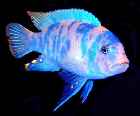 New Pet Fish Talk Show Pet Fish African Cichlids Tropical Freshwater Fish