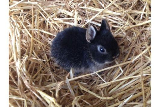 Zwergkaninchen Zwergwidder Nhd Waakirchen Kaninchen Jungtiere Zwergwidder Kaninchen Zwergkaninchen
