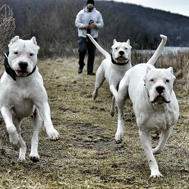 Dogoargentino Izmir Dog Argentino American Pitbull Terrier
