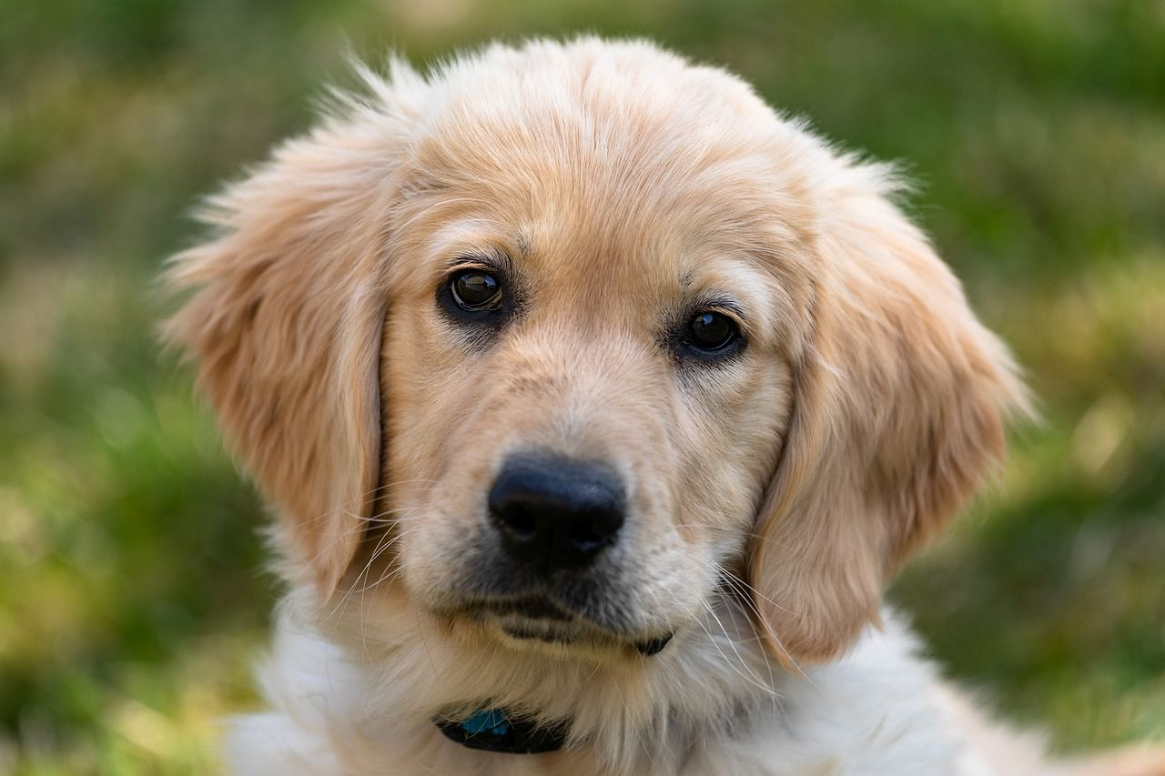 How To Stop Destructive Chewing In Dogs Golden Retriever Retriever Working Dogs Breeds