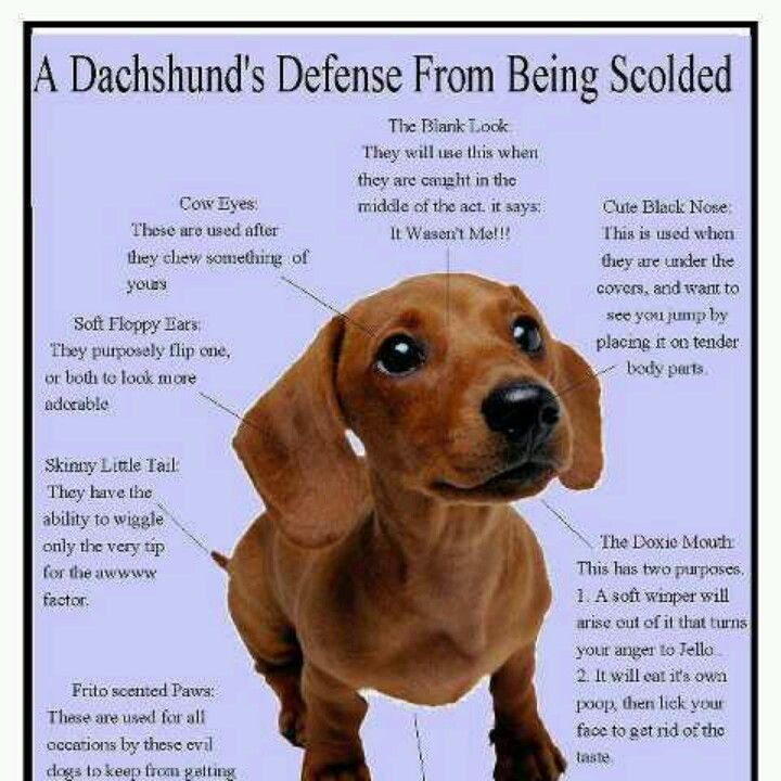 Pin By Amber Smith On Pets Dachshund Facts Funny Dachshund