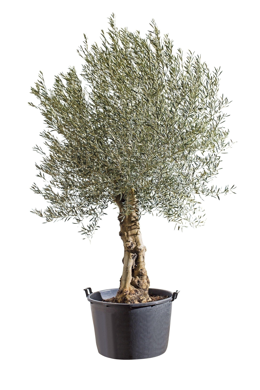 P Strong Herkomst Strong P P De Olijfboom Komt Uit De Gebieden Rond Israel P P P P Strong Kenmerken En Verzo Olijfboom Planten Achtertuinen