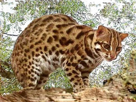 Asian Leopard Cats Cats That Look Like Leopards Asian Leopard Cat Leopard Cat Wild Cat Species