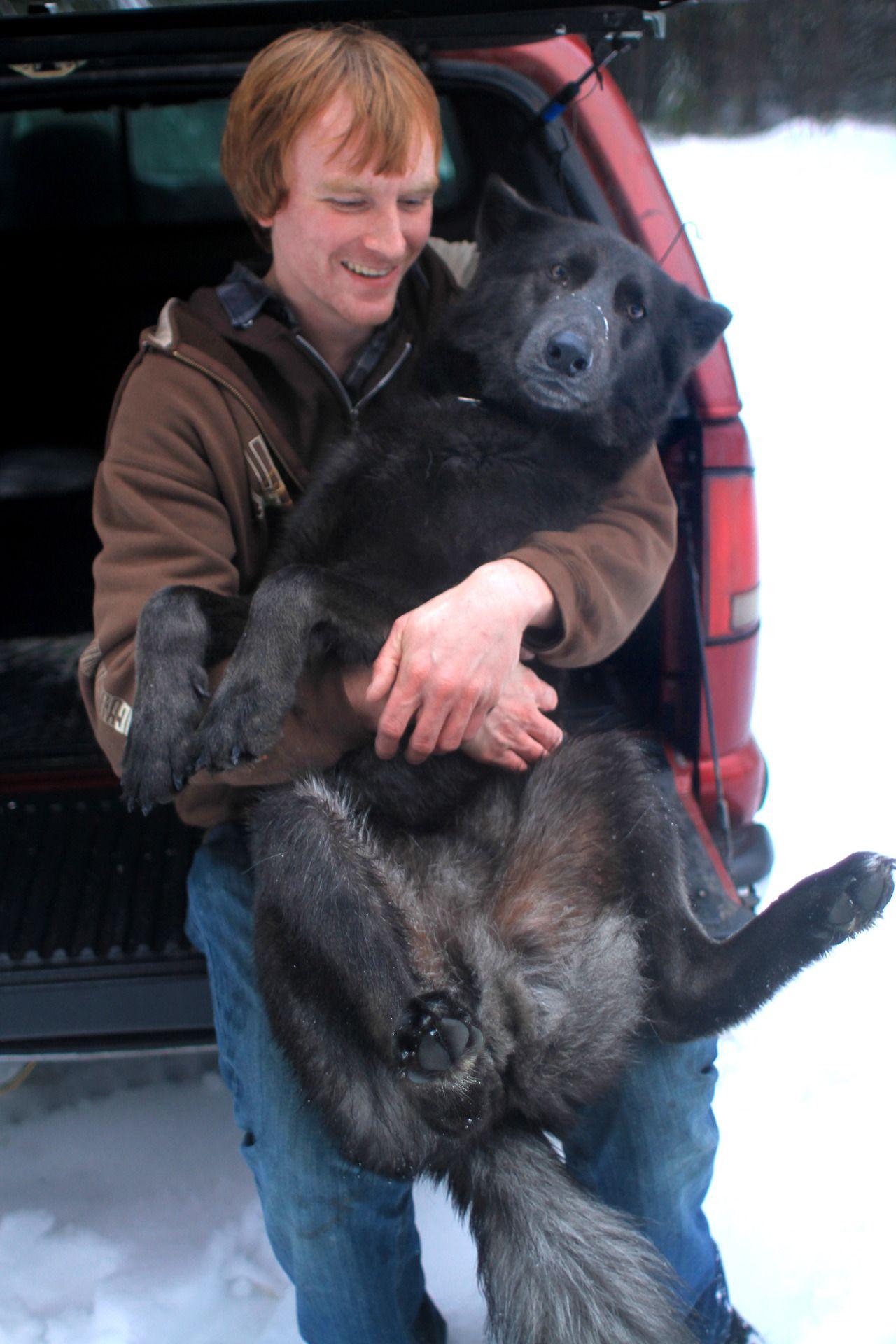 wolfdog wolf