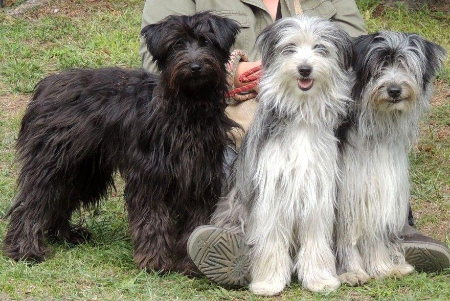 Pyrenean Shepherd Terres Du Kerala Dogs Dogs Kerala Animals