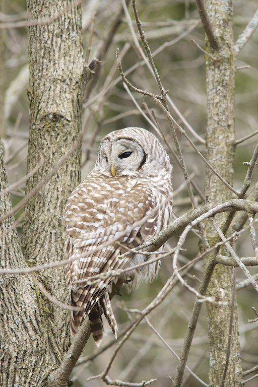♔ Barred Owl by Gary Yankech