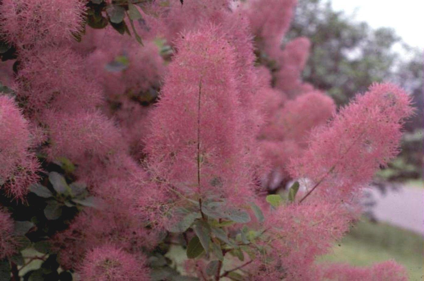 Purple Smoke Tree Type Deciduous Broadleaf Zone 5 8